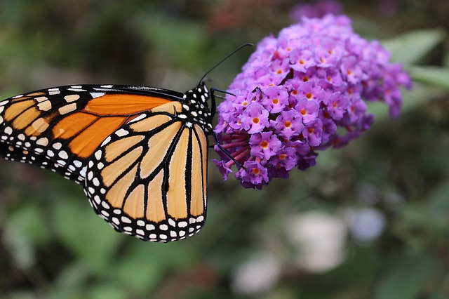 What is the Best Type of Milkweed for Monarch Butterflies?